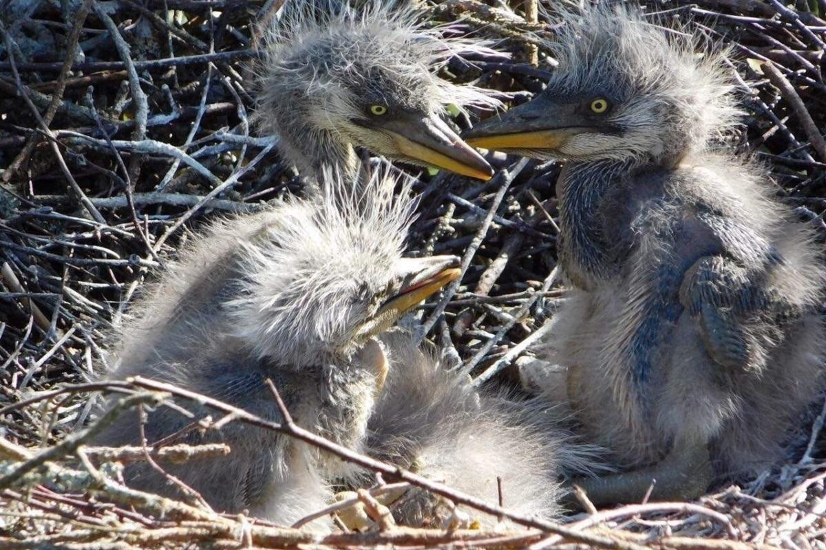 Картинки гнезда цапли